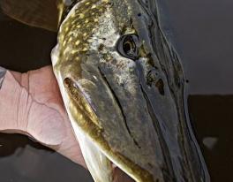 trossachs-pike-fishing-1