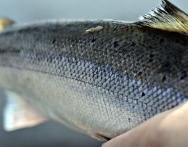 salmon-fishing-guide-scotland-1