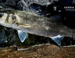 bass-fishing-guide-scotland