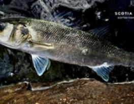 bass-fishing-guide-scotland