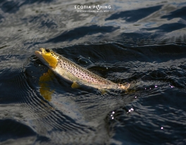 golden-brown-trout-in-scotland