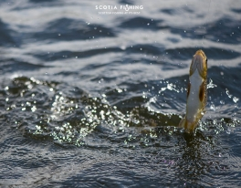 playing-a-wild-brown-trout-in-scotland