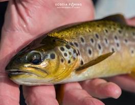 scottish-brown-trout-fishing