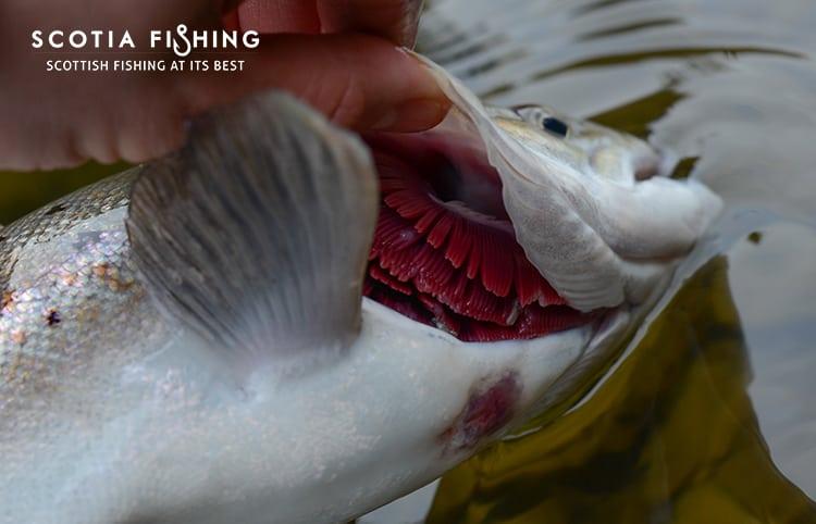 gill-maggots-on-salmon-kelt-0