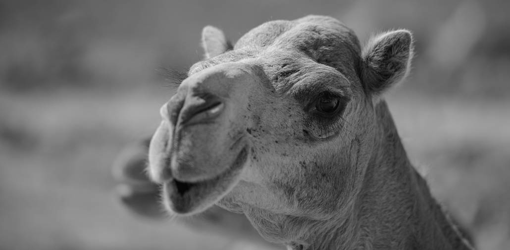oman-camel