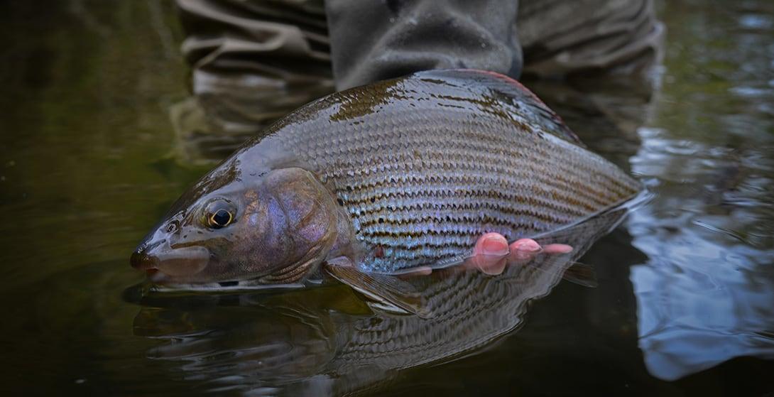 grayling-fishing-scotland-77