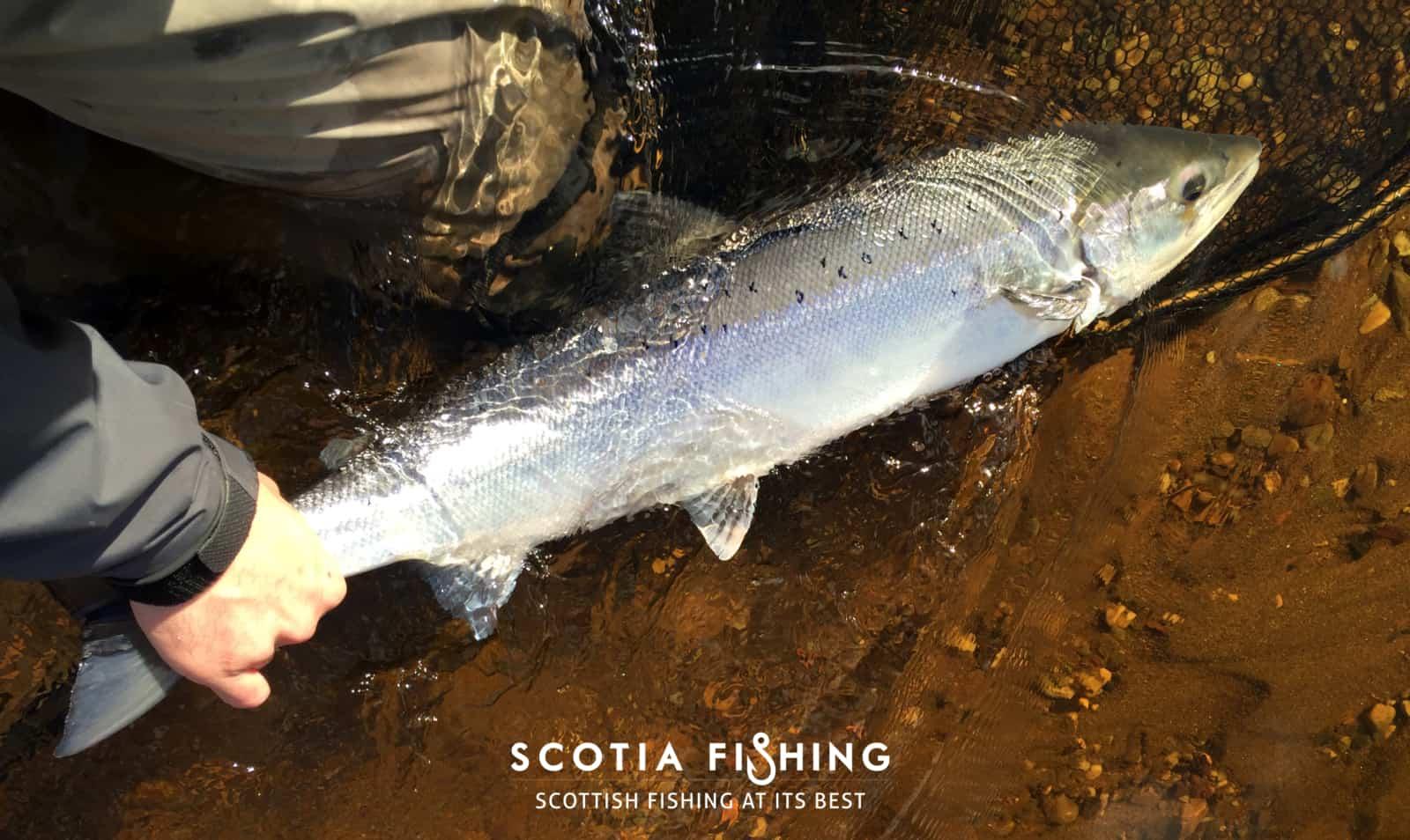 tay-tributary-salmon